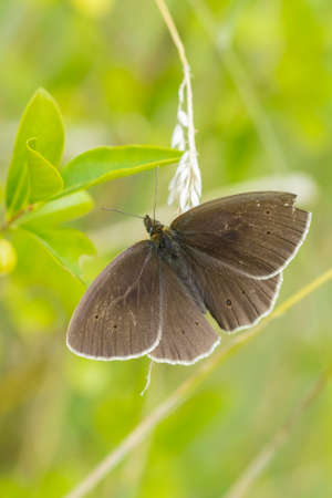 Close-up of a Ringlet butterfly Aphantopus hyperantus resting in a meadow