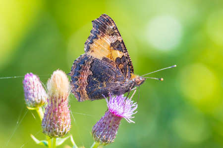 Close-up of the small tortoiseshell Aglais urticae butterfly side view. Isolated by nature Stock Photo