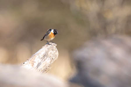 Stonechat, Saxicola rubicola, close-up in the morning sun