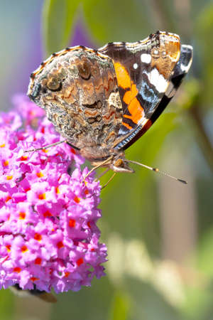 Red Admiral butterfly, Vanessa atalanta, side view feeding nectar from a purple butterfly-bush in garden. Bright sunlight, vibrant colors.