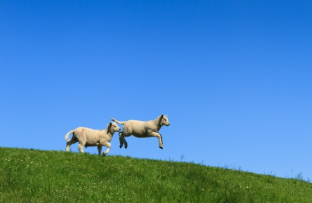 spring lambs: Lamb, one jumping in the air  Stock Photo