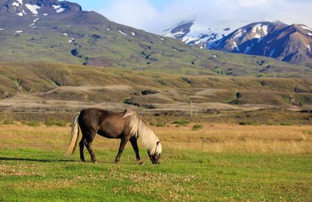 squabble: Icelandic horse in a meadow with mountains in the background.