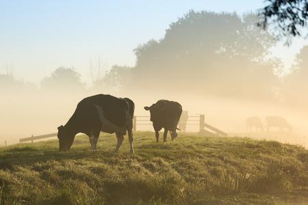 Kühe auf einem Deich von einem kleinen Fluss in Holland bei einem nebligen Sonnenaufgang.