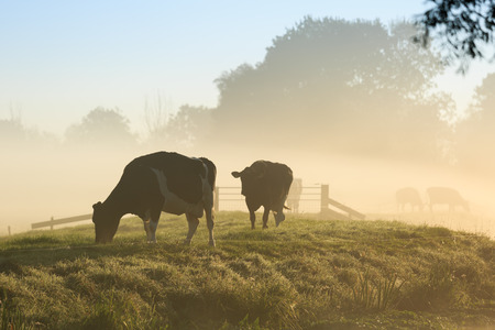 dutch: Cows on a dike of a small river in Holland during a foggy sunrise. Stock Photo