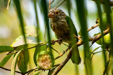 The lineated barbet (Psilopogon lineatus) is an Asian barbet native to the Terai, the Brahmaputra basin to Southeast Asia.