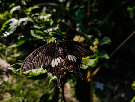 Pachliopta aristolochiae, the common rose, is a swallowtail butterfly belonging to the genus Pachliopta, the roses, or red-bodied swallowtails. It is a common butterfly which is extensively distributed across south and southeast Asia.
