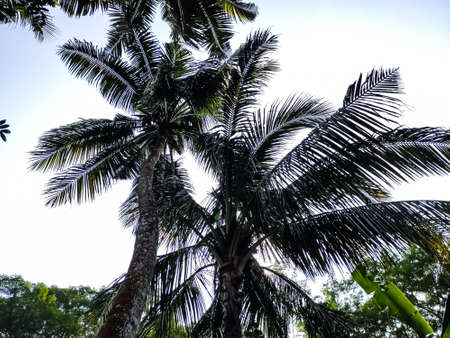 Big coconut trees low-angle shot in the daytime in india.