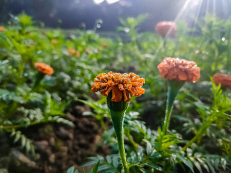 Tagetes is a genus of annual or perennial, mostly herbaceous plants in the sunflower family (Asteraceae). It was described as a genus by Carl Linnaeus in 1753.