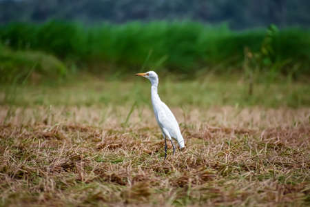 The cattle egret is a cosmopolitan species of heron (family Ardeidae) found in the tropics, subtropics, and warm-temperate zones.