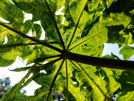 This is green papaya trees leaf backside close-up macro shot when morning sunlight light this leaf. 写真素材