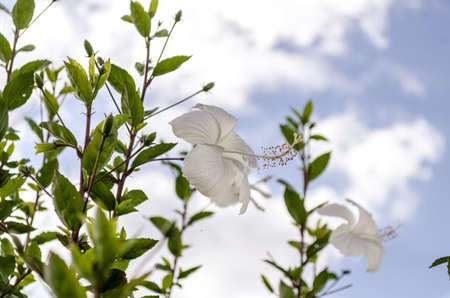 White Hibiscus and green leaves beautiful looks
