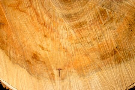 rings on a tree cut: cut the old thick tree trunk with age wood rings