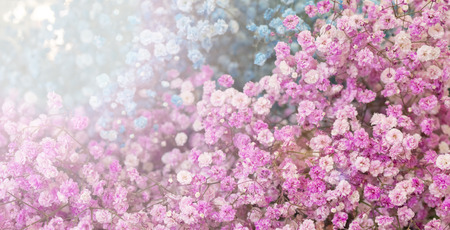 Small pink and blue flowers. Paniculata Flamingo Stock Photo