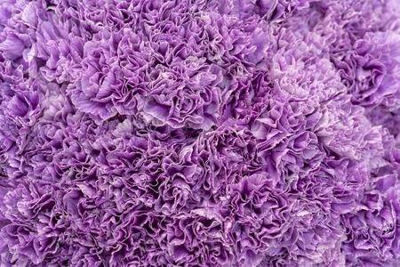 Background of purple carnations. 写真素材