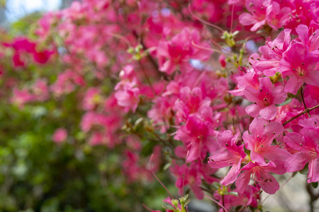 Blooming pink rhododendron (azalea), close-up, selective focus, copy space. Stock Photo