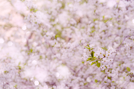 Spring flowering cherry. Background for greeting card, invitation for wedding and engagement.