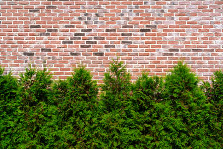 Old vintage red brick wall textured background. Plant ornamental plants against the wall.