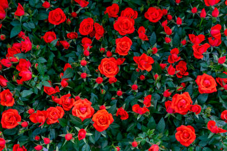 Beautiful red roses. Floral festive natural background.