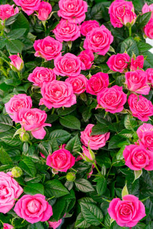 Beautiful pink roses. Floral festive natural background.