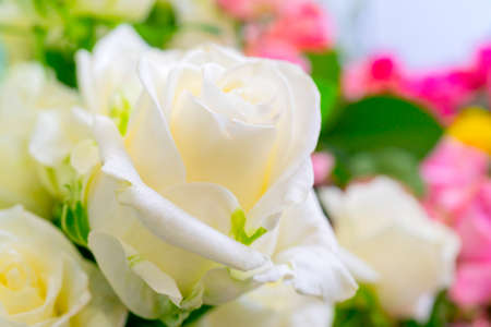 Beautiful white roses. Floral festive natural background. Foto de archivo