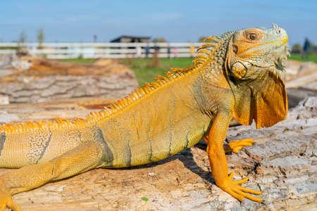 The common green iguana (Iguana iguana), the American iguana, is a large, arboreal, herbivorous species.