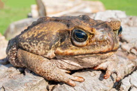 The cane toad, - the giant neotropical toad or marine toad, is a large, terrestrial true toad native to South and mainland Central America.