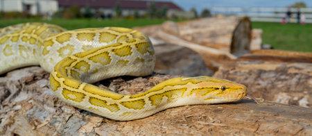 The albino Python molurus snake is a large non-venomous python. It is often a pet.