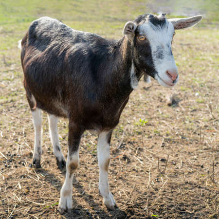 Pet goat on the farm yard. Country pets.