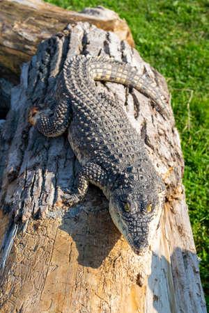 The Nile crocodile (Crocodylus niloticus) is a large, dangerous carnivorous reptile.