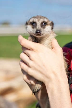 The meerkat (Suricata suricatta) is a small mongoose found in southern Africa.