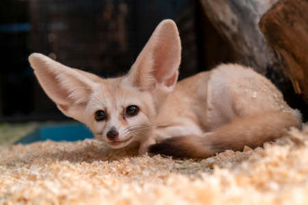 The fennec fox (Vulpes zerda) is a small nocturnal fox that lives in the Sahara Desert.