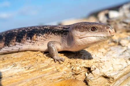 Common blue-tongued skink - Tiliqua scincoides - blue-tongued lizard, common bluetongue.