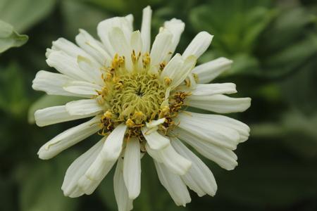 Beautiful Zinnia Summer Flower Stock Photo