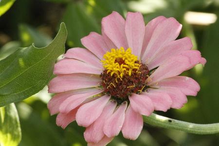 Colorful Zinnia Summer Flower Stock Photo
