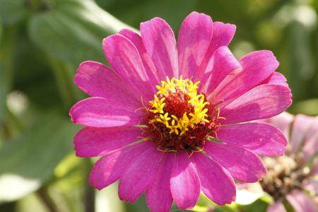Colorful Zinnia Flower Stock Photo