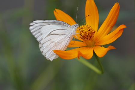 Beautiful White Butterfly on the Flower