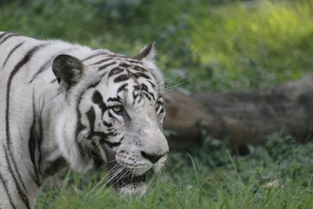 Dangerous White Siberian Tiger