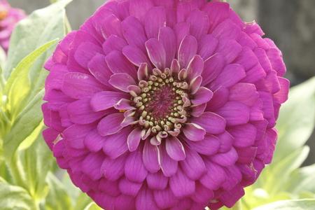 Violet Zinnia Flower