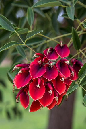 Tree flower erythrina crista galli