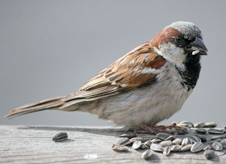 norge: Sparrow