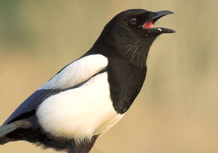 European Magpie Stock Photo - 859059