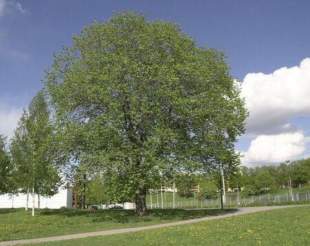 broadleaved tree: Broadleaved tree