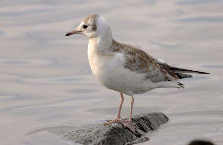 headed: Black headed gull.