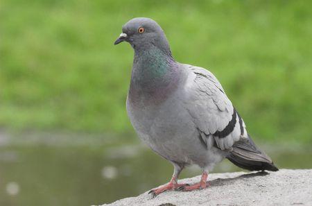 contagion: pigeon