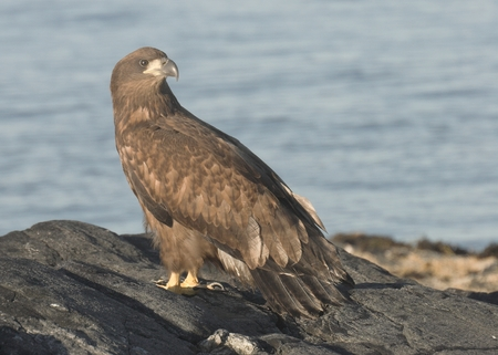 eagle nest rock: Young White tailed Eagle. Stock Photo