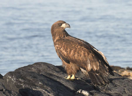 artic circle: Young White tailed Eagle. Stock Photo
