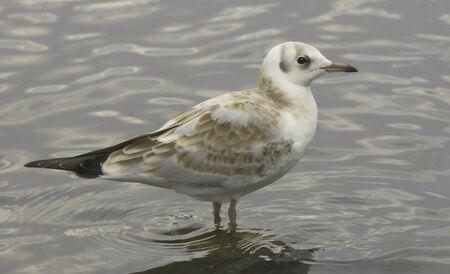 black headed: Black headed gull,