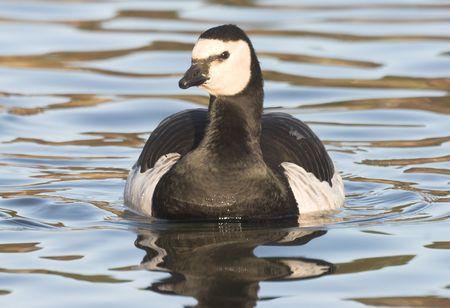 Barnacle Goose, photo