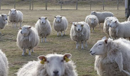 and guessing: sheep