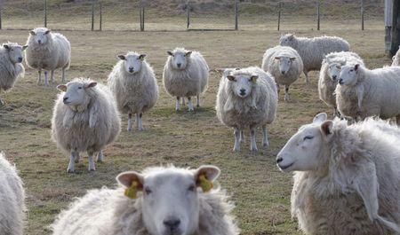 ruminate: sheep